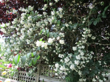 The sweetest smelling plant in the garden (in my opinion) - mock orange.