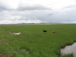 Brio chased by Blanket and Snow_ranch dogs